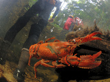 A Crayfish Dodges a Hiker Fording a Stream in Claustral Canyon Photographic Print by Carsten Peter