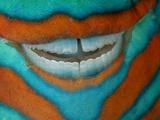 The Clownish Grin of a Bridled Parrotfish Photographie par David Doubilet