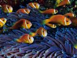 Juvenile Maldives Clownfish Swim Against the Current Photographie par David Doubilet