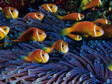 Juvenile Maldives Clownfish Swim Against the Current Photographic Print by David Doubilet