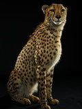 A Captive Cheetah Photographic Print by Vincent J. Musi
