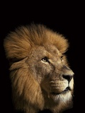 A Captive Lion Photographic Print by Vincent J. Musi