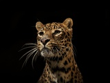 A Captive Leopard Photographic Print by Vincent J. Musi