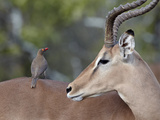 Male Impala (Aepyceros Melampus) with a Red-Billed Oxpecker (Buphagus Erythrorhynchus), Kruger Nati Photographic Print by James Hager