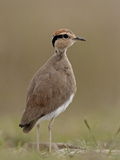 Temminck's Courser (Cursorius Temminckii), Mountain Zebra National Park, South Africa, Africa Photographic Print by James Hager