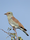 European Roller (Coracias Garrulus), Kruger National Park, South Africa, Africa Photographic Print by James Hager