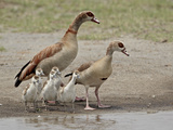 Egyptian Goose (Alopochen Aegyptiacus) Adults and Chicks, Serengeti National Park, Tanzania, East A Photographic Print by James Hager