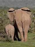 African Elephant (Loxodonta Africana) Mother and Calf, Addo Elephant National Park, South Africa, A Photographic Print by James Hager