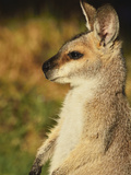 Agile Wallaby, Bunya Mountains, Queensland, Australia, Pacific Photographic Print by Jochen Schlenker