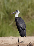 Woolly-Necked Stork (Ciconia Episcopus), Kruger National Park, South Africa, Africa Photographic Print by James Hager