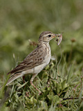 African Pipit (Grassland Pipit) (Grassveld Pipit) (Anthus Cinnamomeus) with a Grasshopper, Ngorongo Photographic Print by James Hager