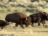 Bison (Bison Bison) Running, Yellowstone National Park, UNESCO World Heritage Site, Wyoming, United Photographic Print by James Hager