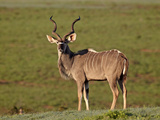 Greater Kudu (Tragelaphus Strepsiceros) Buck, Addo Elephant National Park, South Africa, Africa Photographic Print by James Hager