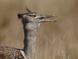 Kori Bustard (Ardeotis Kori), Kgalagadi Transfrontier Park, Encompassing the Former Kalahari Gemsbo Photographic Print by James Hager