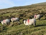 Dartmoor Sheep at Merrivale, Dartmoor National Park, Devon, England, United Kingdom, Europe Photographic Print by Peter Groenendijk