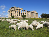 Selinus Greek Temple with Flock of Sheep, Selinunte, Sicily, Italy, Europe Photographic Print by Stuart Black