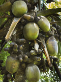 Double Coconut (Coco De Mer Palm), World's Largest Plant Fruit, Royal Botanic Gardens, Peradeniya,  Photographic Print by Rob Francis