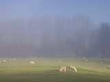 Misty Trees, and Sheep, Exe Valley, Devon, England, United Kingdom, Europe Photographic Print by Jeremy Lightfoot