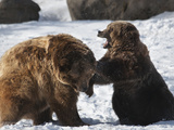 Two Brown Bears (Ursus Arctos) Sparring in Winter Snow, Bozeman, Montana, United States of America, Photographic Print by Kimberly Walker