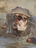 Two Hippopotamus (Hippopotamus Amphibius) Sparring, Serengeti National Park, Tanzania, East Africa, Photographic Print by James Hager