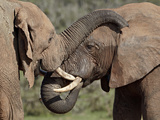 Two African Elephant (Loxodonta Africana), Addo Elephant National Park, South Africa, Africa Photographie par James Hager