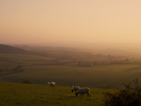 Sheep at Sunset, Near Sidmouth, Devon, England, United Kingdom, Europe Photographic Print by Jeremy Lightfoot