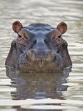 Hippopotamus (Hippopotamus Amphibius), Serengeti National Park, Tanzania, East Africa, Africa Photographic Print by James Hager