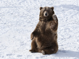 Waving Brown Bear (Ursus Arctos) Sitting in Winter Snow, Bozeman, Montana, United States of America Photographic Print by Kimberly Walker