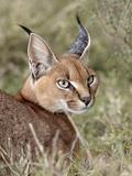 Caracal (Caracal Caracal), Serengeti National Park, Tanzania, East Africa, Africa Fotografisk tryk af James Hager
