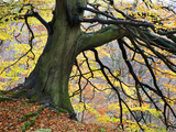 Autumn Tree, Bolton Abbey, Yorkshire, England, United Kingdom, Europe Photographic Print by Mark Sunderland
