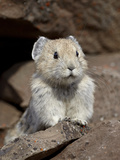 American Pika (Ochotona Princeps), Peter Lougheed Provincial Park, Kananaskis Country, Alberta, Can Photographic Print by James Hager