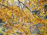 Backlit Autumn Leaves in Strid Wood, Bolton Abbey, Yorkshire, England, United Kingdom, Europe Photographic Print by Mark Sunderland