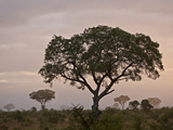 Trees in Fog at Dawn, Kruger National Park, South Africa, Africa Photographic Print by James Hager