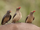 Two Adult and an Immature Red-Billed Oxpecker (Buphagus Erythrorhynchus) on an Impala, Kruger Natio Photographic Print by James Hager