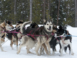 Dog Sledding Team During Snowfall, Continental Divide, Near Dubois, Wyoming, United States of Ameri Photographic Print by Kimberly Walker