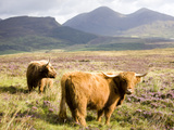 Pair of Highland Cows Grazing Among Heather Near Drinan, on Road to Elgol, Isle of Skye, Highlands, Photographic Print by Lee Frost