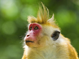 Toque Macaque Monkey, Named for its Hair, Endangered, Royal Botanic Gardens, Peradeniya, Kandy, Sri Photographic Print by Rob Francis