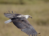African Fish Eagle (Haliaeetus Vocifer) in Flight, Serengeti National Park, Tanzania, East Africa,  Photographic Print by James Hager
