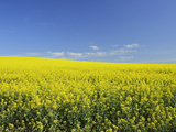 Canola Field Near Junee, New South Wales, Australia, Pacific Photographic Print by Jochen Schlenker
