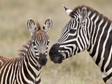Common Zebra or Burchell's Zebra (Equus Burchelli) Foal and Mare, Serengeti National Park, Tanzania Fotografisk tryk af James Hager