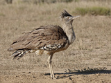 Kori Bustard (Ardeotis Kori) Dust Bathing, Kgalagadi Transfrontier Park, Encompassing the Former Ka Photographic Print by James Hager