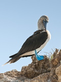 Blue-Footed Booby (Sula Nebouxii), Isla Marietas National Park, UNESCO Biosphere Reserve, Puerto Va Photographic Print by Michael DeFreitas