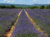 Lavender Fields around Roussillon, Parc Naturel Regional Du Luberon, Vaucluse, Provence, France, Eu Photographic Print by Peter Richardson