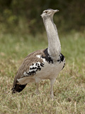 Kori Bustard (Ardeotis Kori), Serengeti National Park, Tanzania, East Africa, Africa Photographic Print by James Hager