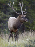 Bull Elk (Cervus Canadensis) in the Fall, Jasper National Park, Alberta, Canada, North America Photographic Print by James Hager