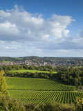 View of Dorking across Denbies Vineyard, Surrey Hills, Surrey, England, United Kingdom, Europe Photographic Print by John Miller