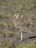 Two-Banded Courser (Double-Banded Courser) (Rhinoptilus Africanus), Serengeti National Park, Tanzan Photographic Print by James Hager