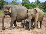 Asian Elephants at Pinnawela Elephant Orphanage, Sri Lanka, Asia Photographic Print by Kim Walker