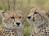 Cheetah (Acinonyx Jubatus) Brothers, Serengeti National Park, Tanzania, East Africa, Africa Photographic Print by James Hager