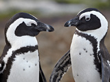 African Penguin (Spheniscus Demersus) Pair, Simon&#39;s Town, South Africa, Africa Photographie par James Hager